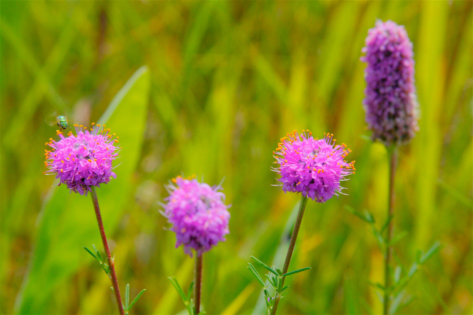 Clover Purple Prairie Flower 120 Seeds Groco Ebay