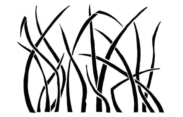 Line Drawing Grass : Cenchrus polystachios ausgrass