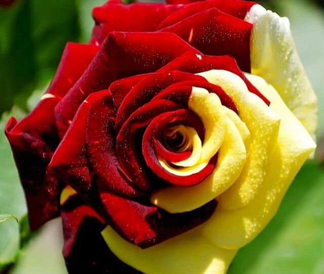 35 Rose Rosen Samen Yellow Red Seeds Gothic Gardening..