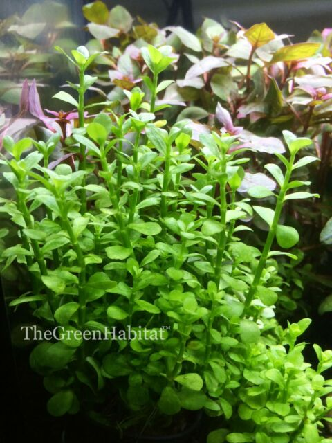 Bacopa Monnieri U0027Moneywortu0027 Live Aquarium Plants Fish Anubias ADA Aquascape  Moss