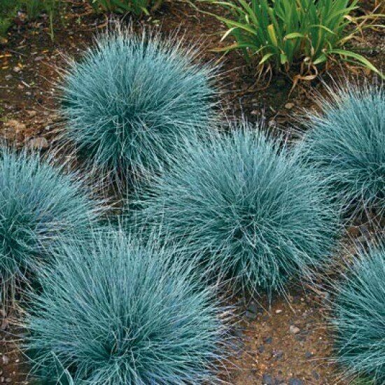 Blue fescue seeds ornamental grass seeds bulk seed blue green 500ct blue fescue seeds ornamental grass seeds bulk seed blue green 500ct ebay workwithnaturefo