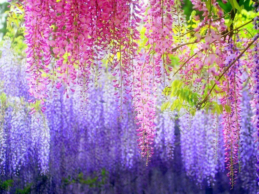 10 Blue Chinese Wisteria Seeds Purple Floribunda Wisteria Vine ...