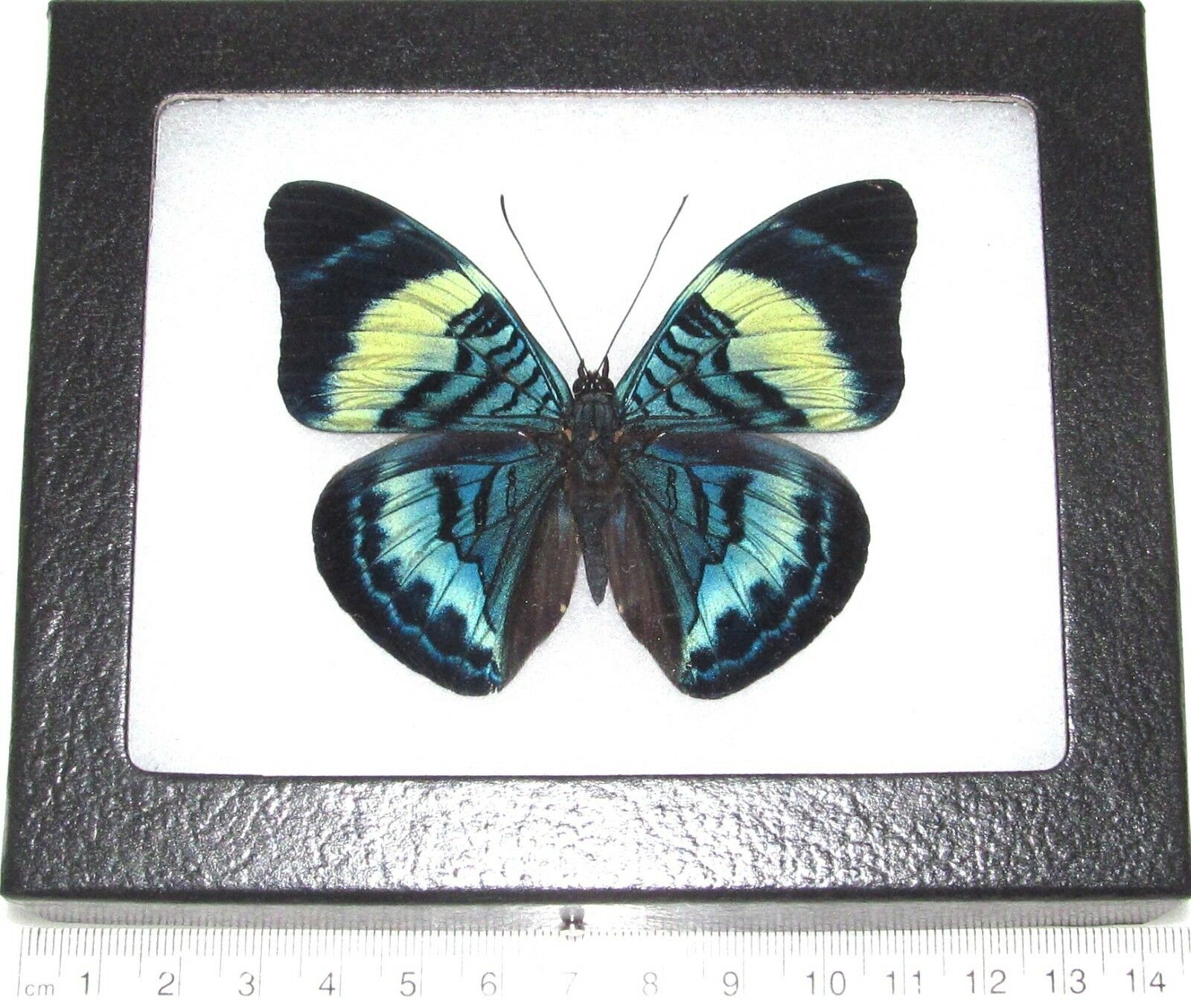 Real Framed Butterfly Blue Panacea Prola Peru | eBay