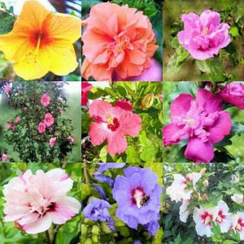 Hibiscus Rose Of Sharon Syriacus 50 Seeds Mixed Colors