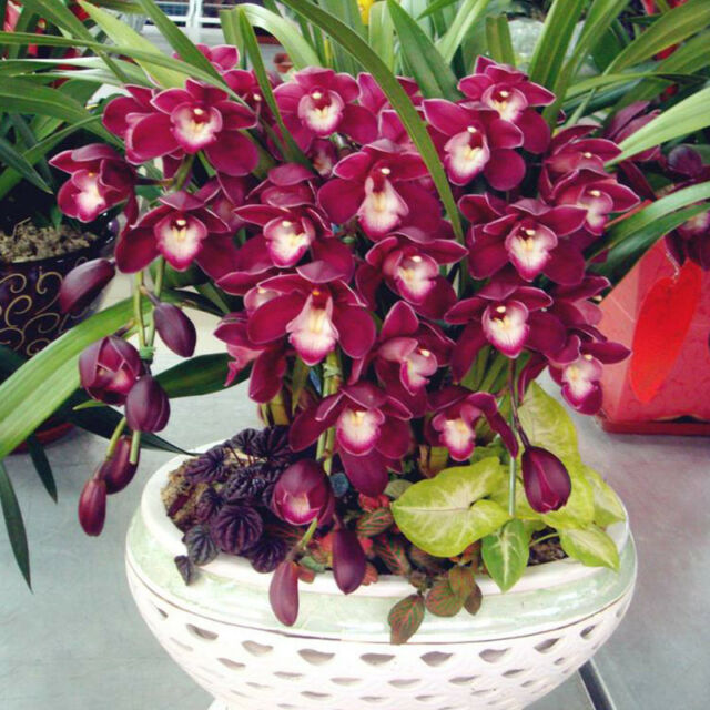 100pcs Chinese Cymbidium Orchid Flower Seeds Indoor Potted Home ...